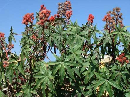 Клещеви́на - тропическое растение, из которого изготавливают касторовое масло методом горячего прессования